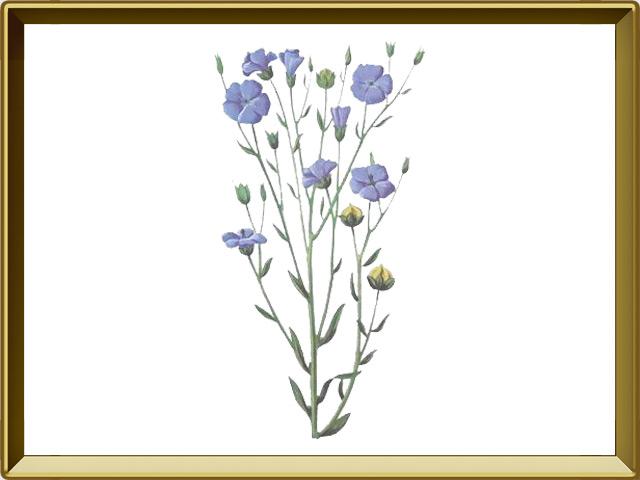 Лён — растение, фото в рамке №1