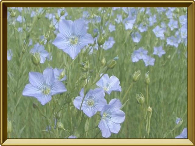 Лён — растение, фото в рамке №2