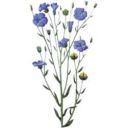 Лён — растение, картинка цветная
