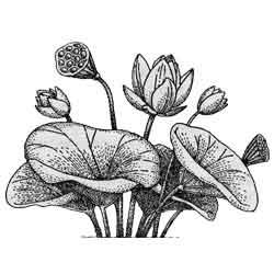 Лотос — растение, картинка чёрно-белая