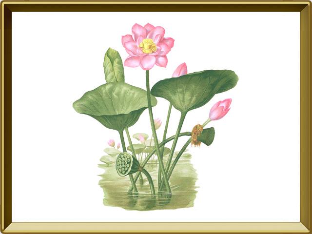 Лотос — растение, фото в рамке №1