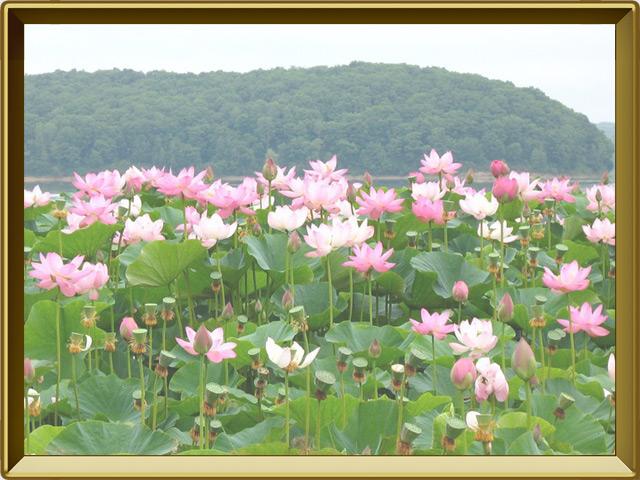 Лотос — растение, фото в рамке №2