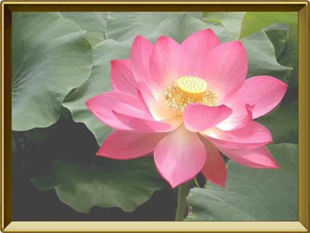 Лотос — растение, фото в рамке №3