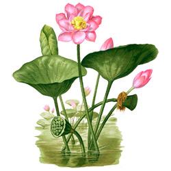 Лотос — растение, картинка цветная