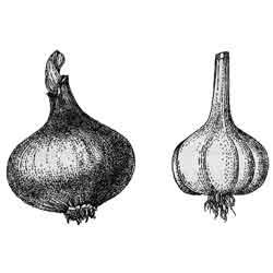 Лук — растение, картинка чёрно-белая