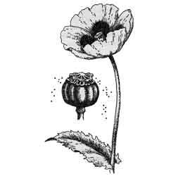 Мак — растение, картинка чёрно-белая