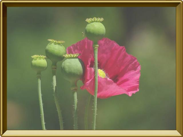 Мак — растение, фото в рамке №3