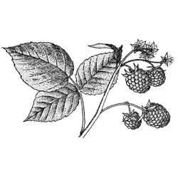 Малина — растение, картинка чёрно-белая