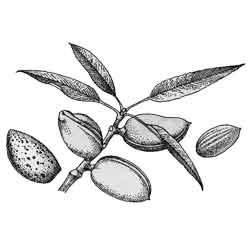 Миндаль — растение, картинка чёрно-белая