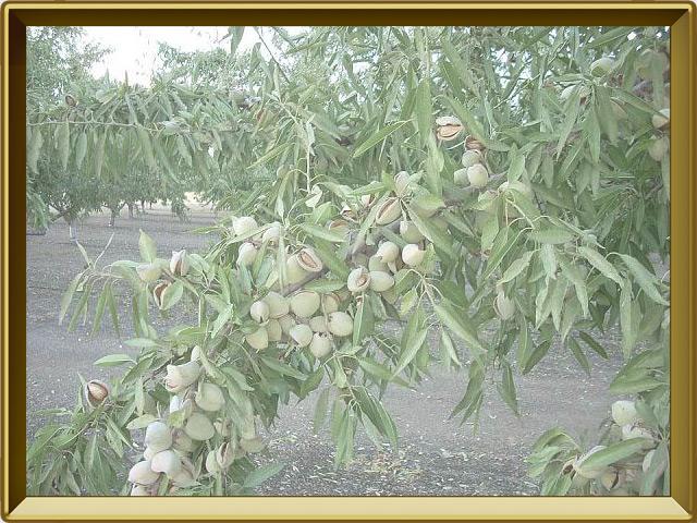 Миндаль — растение, фото в рамке №3