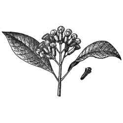 Мирт — растение, картинка чёрно-белая