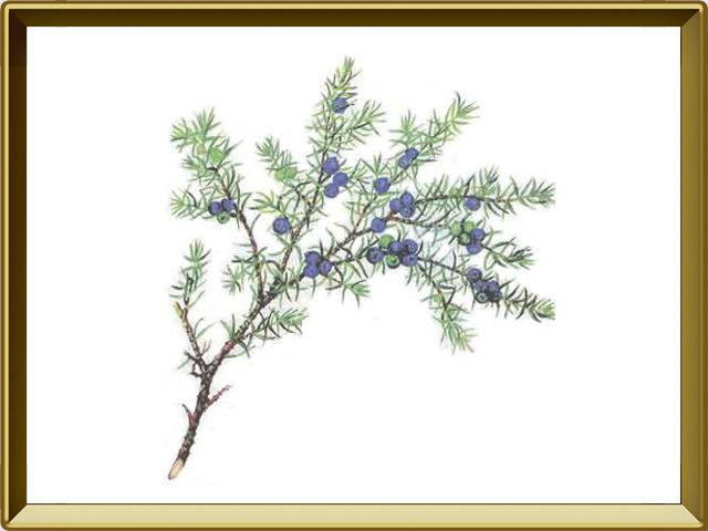 Мирт — растение, фото в рамке №1