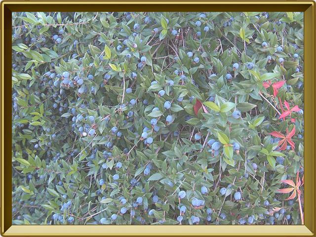 Мирт — растение, фото в рамке №2