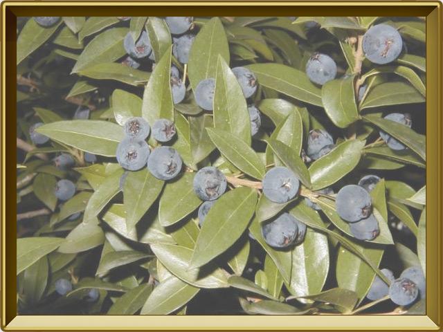 Мирт — растение, фото в рамке №3