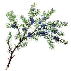 Мирт — растение, картинка цветная
