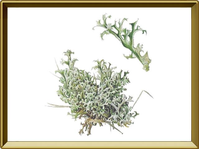 Мох — растение, фото в рамке №1