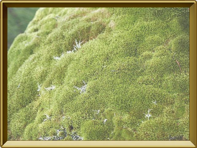 Мох — растение, фото в рамке №2