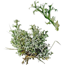 Мох — растение, картинка цветная
