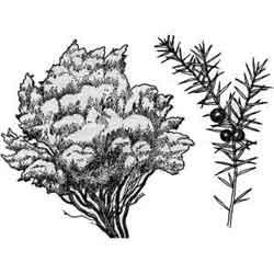 Можжевельник — растение, картинка чёрно-белая