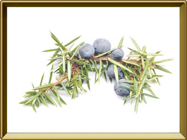 Можжевельник — растение, фото в рамке №1