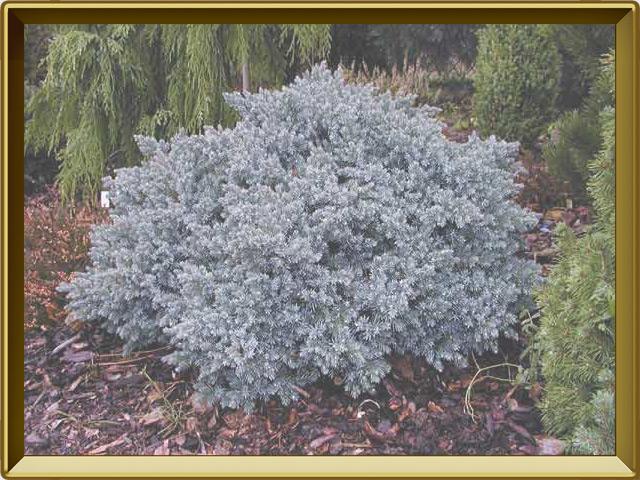 Можжевельник — растение, фото в рамке №2
