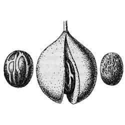 Мускатный орех — растение, картинка чёрно-белая