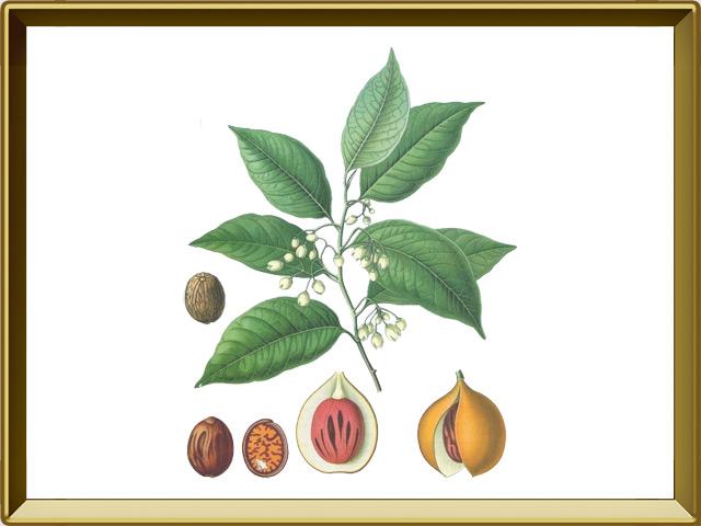 Мускатный орех — растение, фото в рамке №1