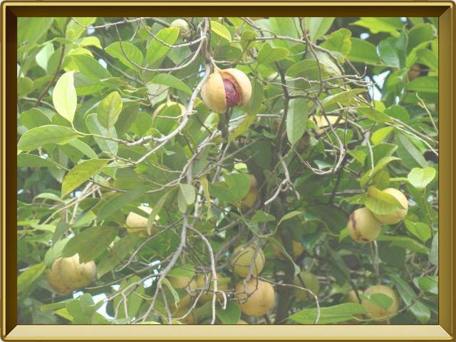 Мускатный орех — растение, фото в рамке №2