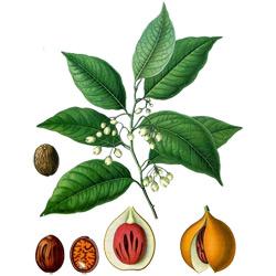 Мускатный орех — растение, картинка цветная