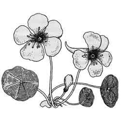 Настурция — растение, картинка чёрно-белая