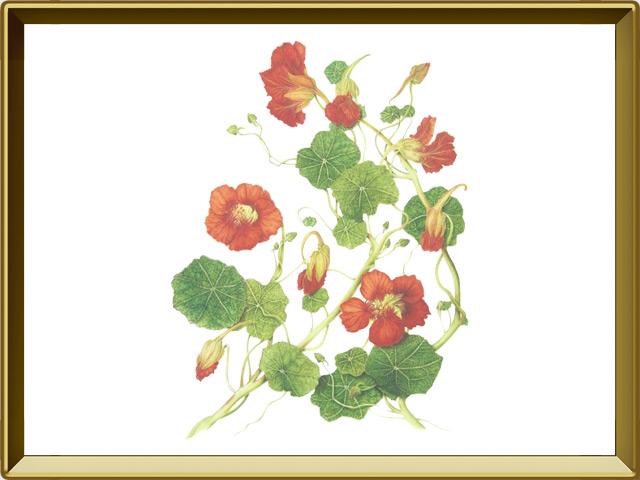 Настурция — растение, фото в рамке №1