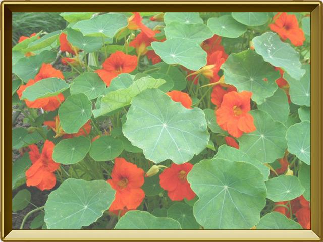 Настурция — растение, фото в рамке №2