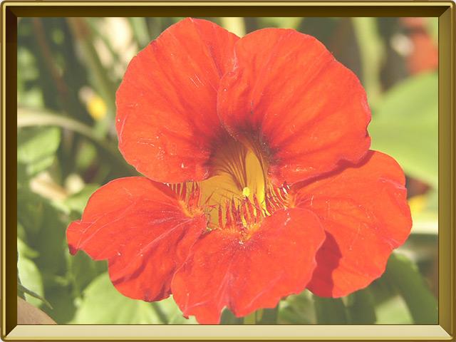 Настурция — растение, фото в рамке №3