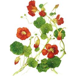 Настурция — растение, картинка цветная