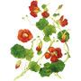 Настурция — растение