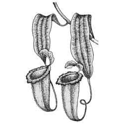 Непентес — растение, картинка чёрно-белая