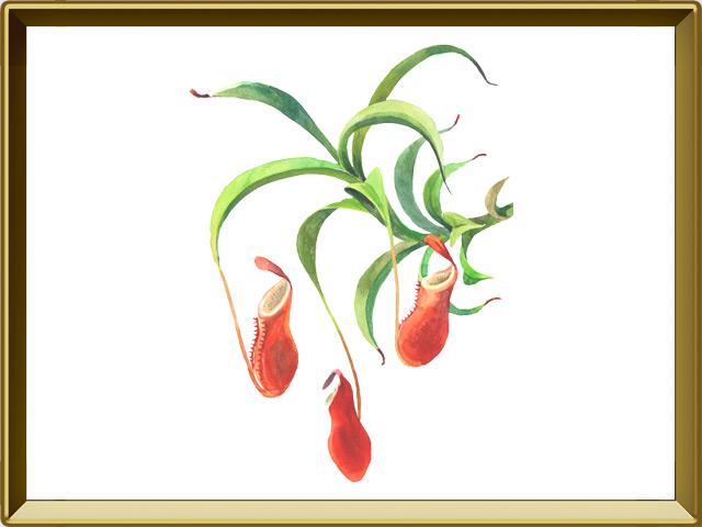 Непентес — растение, фото в рамке №1