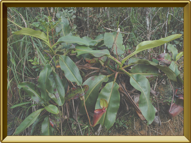Непентес — растение, фото в рамке №2