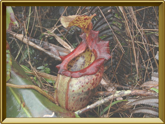 Непентес — растение, фото в рамке №3