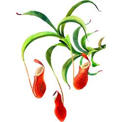 Непентес — растение, картинка цветная