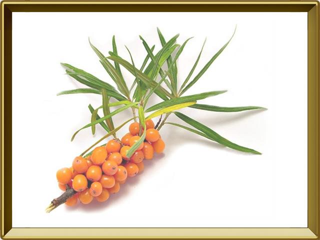 Облепиха — растение, фото в рамке №1