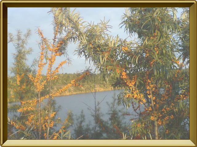 Облепиха — растение, фото в рамке №2