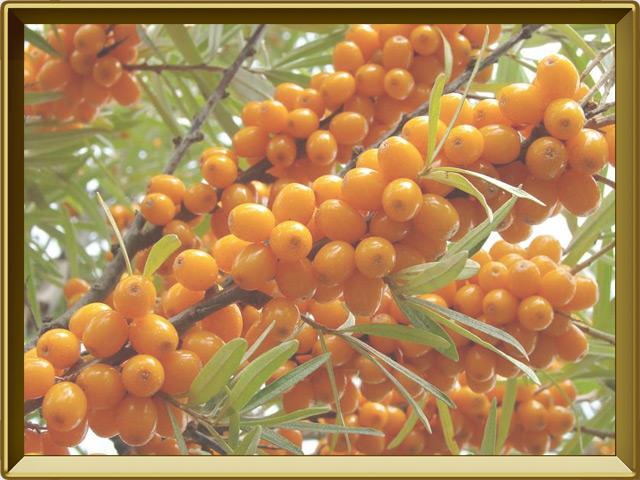 Облепиха — растение, фото в рамке №3