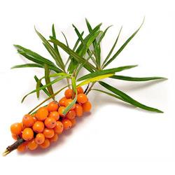 Облепиха — растение, картинка цветная