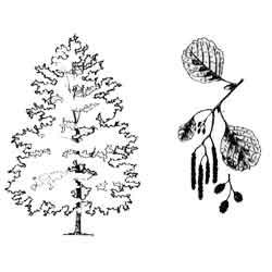 Ольха — растение, картинка чёрно-белая