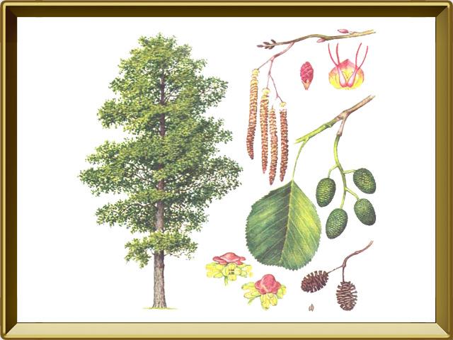 Ольха — растение, фото в рамке №1
