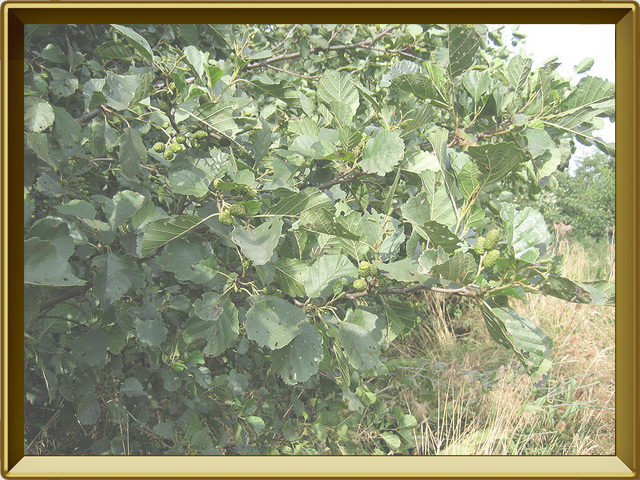 Ольха — растение, фото в рамке №2