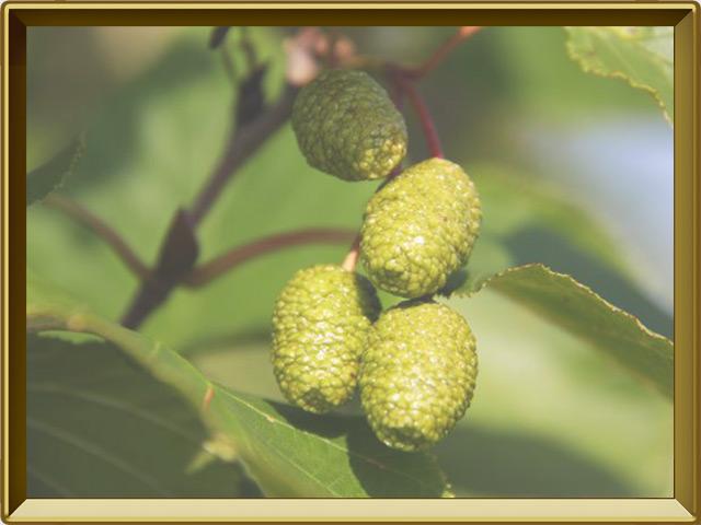 Ольха — растение, фото в рамке №3