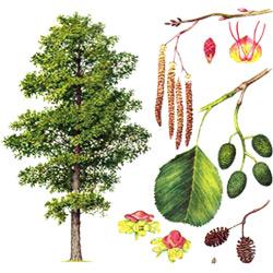 Ольха — растение, картинка цветная