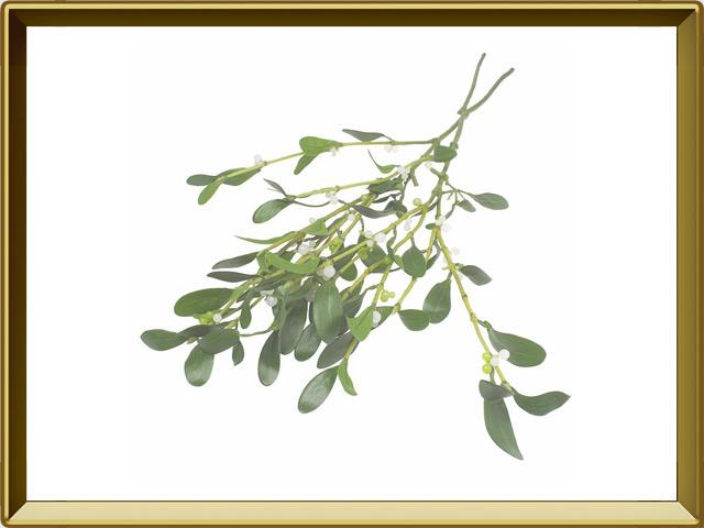 Омела — растение, фото в рамке №1
